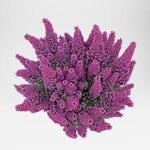 erica gracilis beauty queens gartenbau holz in weeze. Black Bedroom Furniture Sets. Home Design Ideas