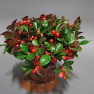 gautlheria-procumbens